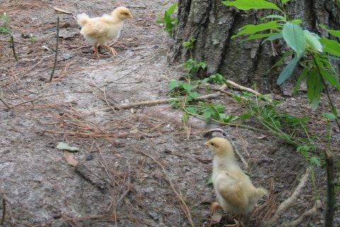 http://www.backyardchickens.com/forum/uploads/10275_img_5578.jpg