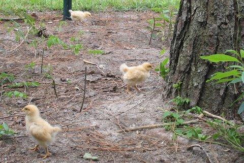 http://www.backyardchickens.com/forum/uploads/10275_img_5580.jpg