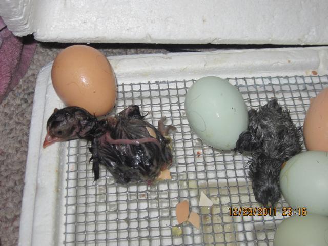 http://www.backyardchickens.com/forum/uploads/103446_random_assorted_pictures_2011_006.jpg
