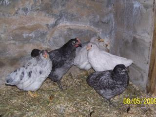 http://www.backyardchickens.com/forum/uploads/10355_100_0553.jpg