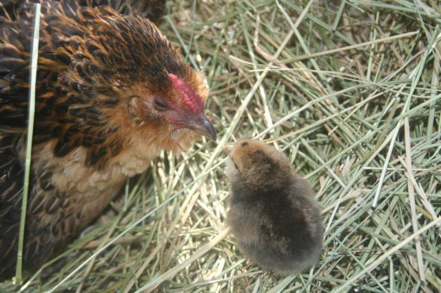 http://www.backyardchickens.com/forum/uploads/103583_broody_chickadee_020.jpg
