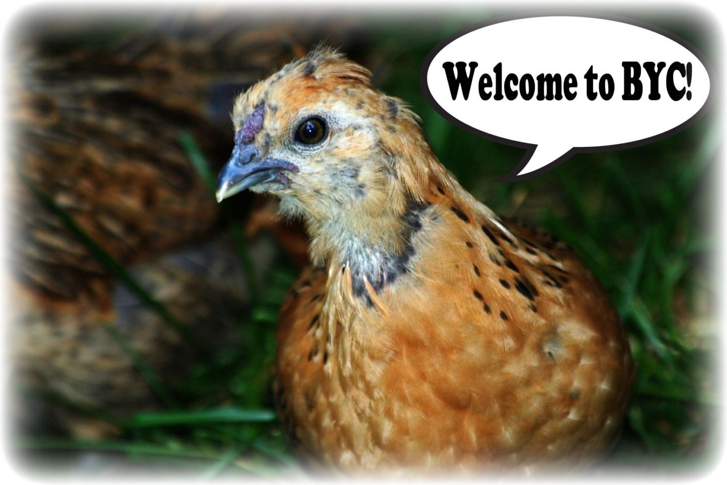 http://www.backyardchickens.com/forum/uploads/103583_welcome.jpg