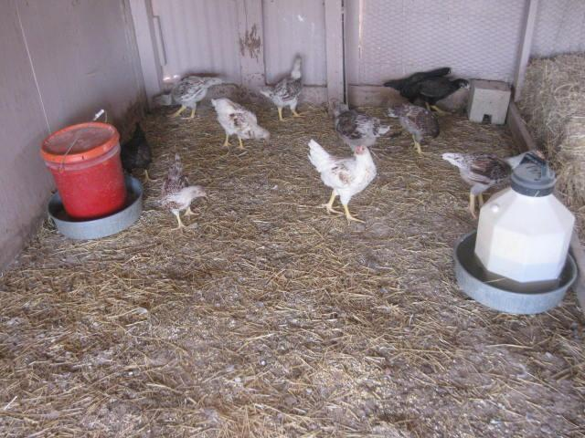 http://www.backyardchickens.com/forum/uploads/10364_img_1265.jpg