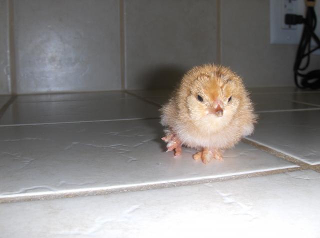 http://www.backyardchickens.com/forum/uploads/104357_hpim8475.jpg