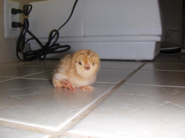 http://www.backyardchickens.com/forum/uploads/104357_hpim8476.jpg