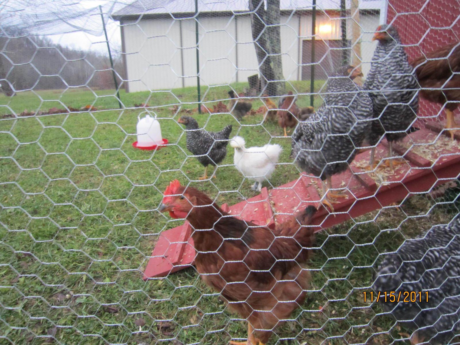http://www.backyardchickens.com/forum/uploads/104559_img_0703.jpg