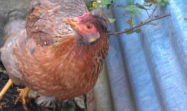 http://www.backyardchickens.com/forum/uploads/105703_q3wetr.jpg