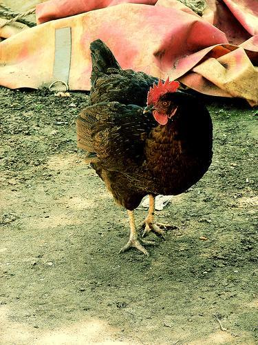 http://www.backyardchickens.com/forum/uploads/10604_gallo-gallina1.jpg