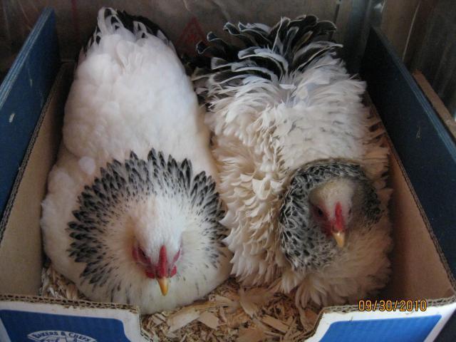 http://www.backyardchickens.com/forum/uploads/10663_img_9011.jpg