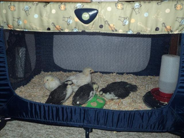 http://www.backyardchickens.com/forum/uploads/106808_home_swede_home.jpg