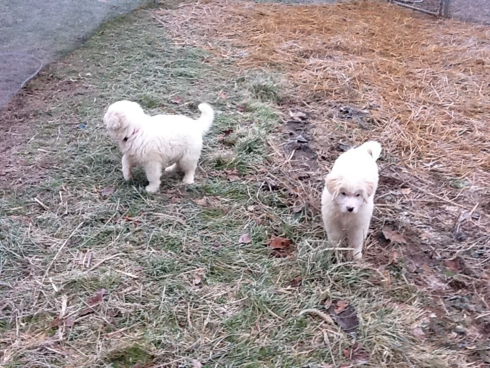 http://www.backyardchickens.com/forum/uploads/107179_pyrenees_001.jpg