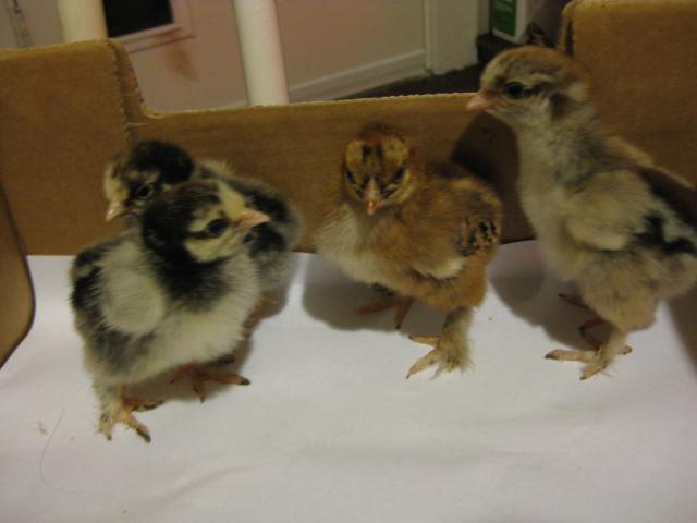 http://www.backyardchickens.com/forum/uploads/107506_sun_-_chipmunks_002.jpg