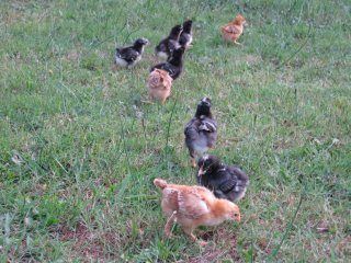 Our chicks at 2 weeks