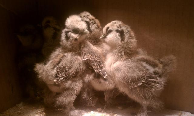 108640_partridge_babies_1_week.jpg