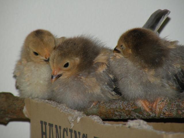 http://www.backyardchickens.com/forum/uploads/108830_dscn8950.jpg