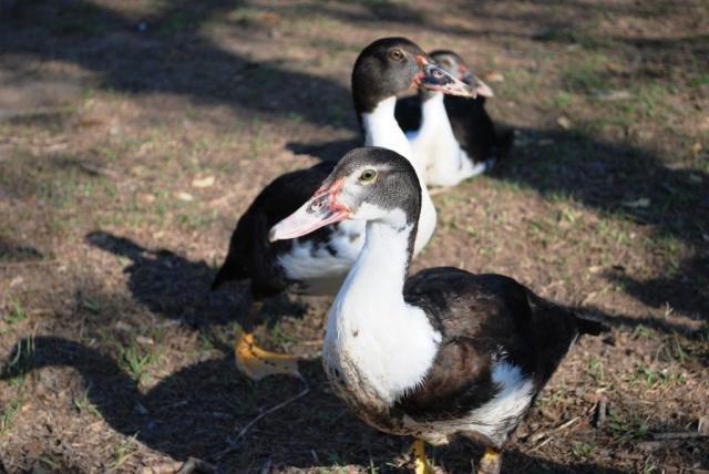 http://www.backyardchickens.com/forum/uploads/109538_9-29-11_009.jpg