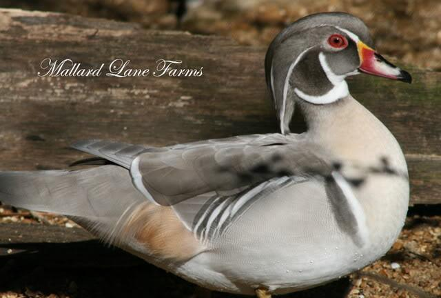http://www.backyardchickens.com/forum/uploads/109597_silverdrake4.jpg
