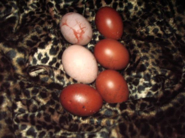 Marans Eggs What Causes Them To Be Shiny Backyard Chickens