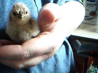 http://www.backyardchickens.com/forum/uploads/112332_picture_961.jpg