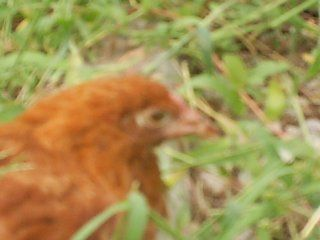 http://www.backyardchickens.com/forum/uploads/11245_suc50091.jpg