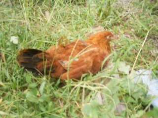 http://www.backyardchickens.com/forum/uploads/11245_suc50092.jpg