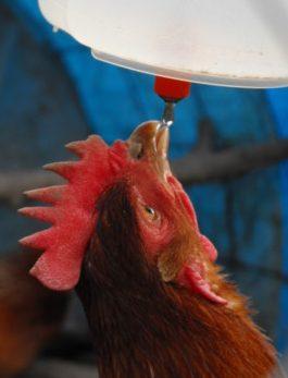 Http www backyardchickens com forum uploads 112529 aquamiserdrink