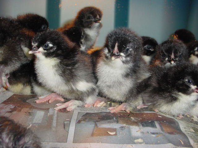 11333_black_copper_marans_chicks.jpg