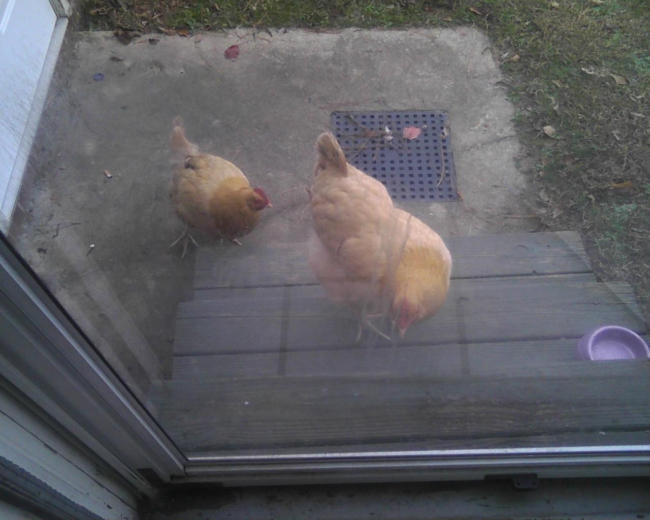 http://www.backyardchickens.com/forum/uploads/113389_111212_0012.jpg