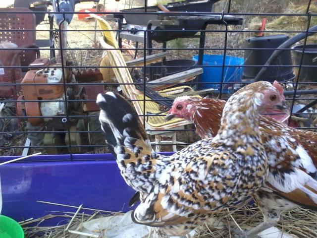 114003_bantams.jpg