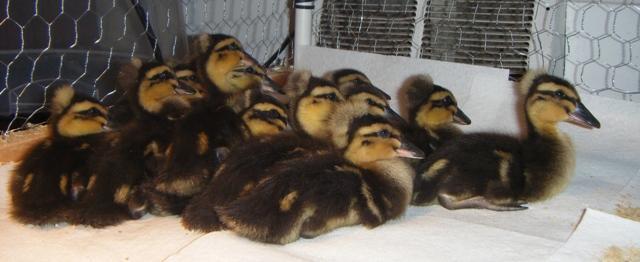 11751_duckies_3-5.jpg