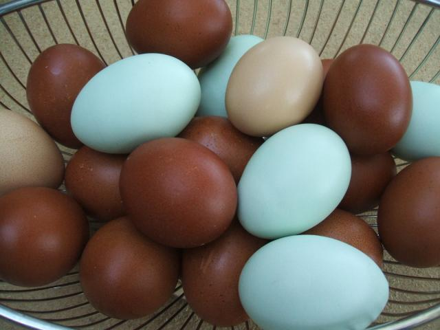 Black Copper Eggs with Easter Egger and Barred Rock