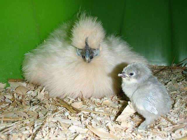 http://www.backyardchickens.com/forum/uploads/12304_p4011958.jpg