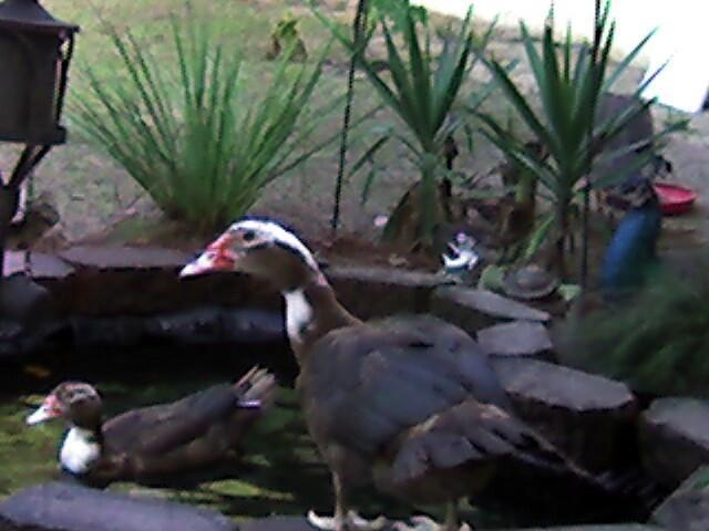 Chocolate Muscovy Ducks in N  Florida | BackYard Chickens