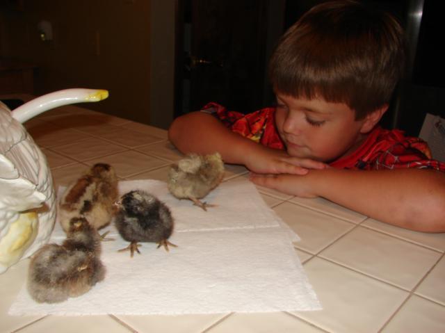 12477_e_look_at_chicks.jpg
