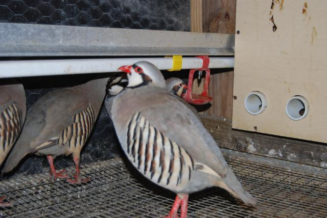 32 Chukar \u0026 32 Ringneck\/ Melanistic Pheasant Eggs