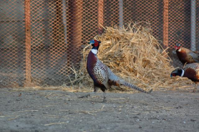 Pheasant eggs hatching - photo#22