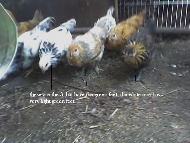 http://www.backyardchickens.com/forum/uploads/12890_07-08-08_1325.jpg