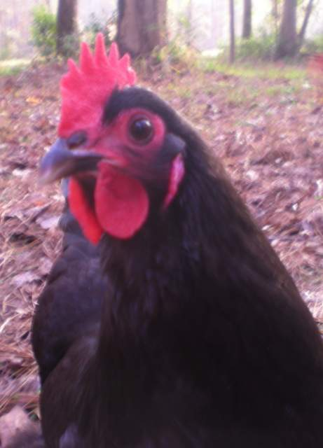 http://www.backyardchickens.com/forum/uploads/12944_alice.jpg
