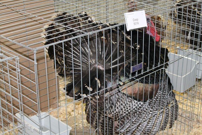 http://www.backyardchickens.com/forum/uploads/13020_bronze_turkey_gobbler.jpg