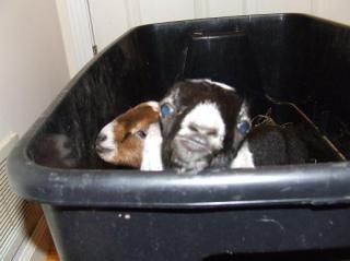 13220_goats_003.jpg