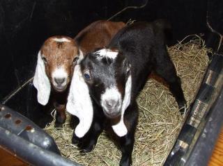 13220_goats_006.jpg