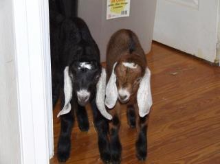 13220_goats_008.jpg