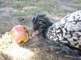 http://www.backyardchickens.com/forum/uploads/13272_august2008_061.jpg