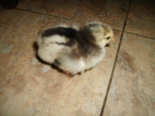 http://www.backyardchickens.com/forum/uploads/13328_auction_chick_10-2-08.jpg