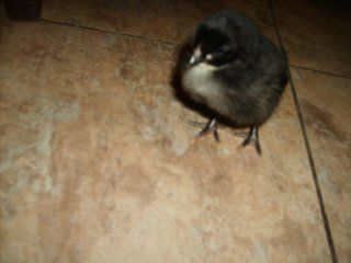 http://www.backyardchickens.com/forum/uploads/13328_auction_chick_10-2-08_6.jpg