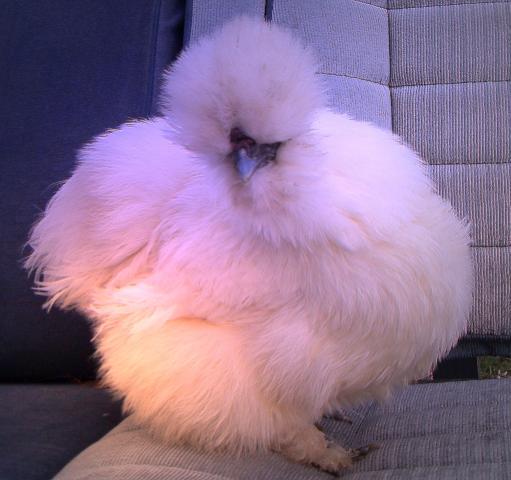 http://www.backyardchickens.com/forum/uploads/13823_picture_4528_modified1.jpg