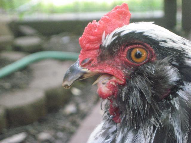 http://www.backyardchickens.com/forum/uploads/14596_august09_426.jpg