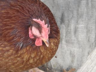 http://www.backyardchickens.com/forum/uploads/14680_sick_chicken_003.jpg