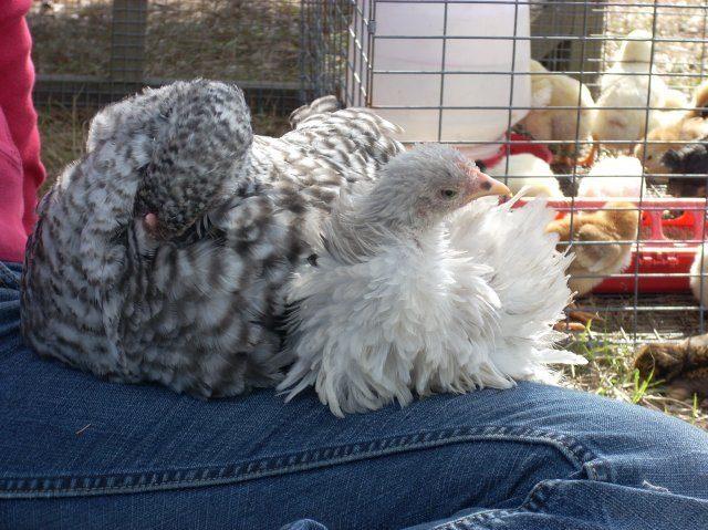http://www.backyardchickens.com/forum/uploads/15626_dscn0735.jpg