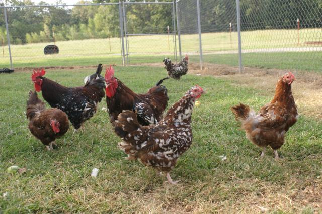 Speckled Sussex Eggs For Sale Ark Pictures I Just Took